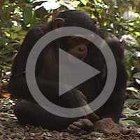 Young chimpanzees who cannot use stone tools