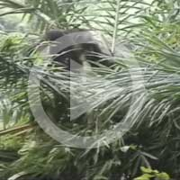 Pestle-pounding in oil palms 2